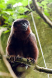 Dusky Titi Monkey. In a natural jungle habitat in a zoo. Animal is native of the country Brazil, Bolivia, Peru, and other South American countries Royalty Free Stock Photo