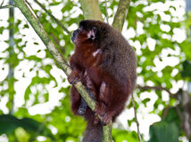 Dusky Titi Monkey. Orabussu monkey also known as Dusky Titi Monkey sits on a branch in a zoo habitat. Also known as luca luca, lucachi, golden palace monkey stock photos