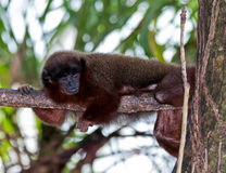 Dusky Titi Monkey. Orabussu monkey also known as Dusky Titi Monkey sits on a branch in a zoo habitat. Also known by many other names stock images