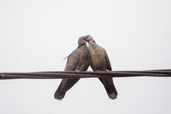 Dusky Turtle Dove Kiss Royalty Free Stock Image
