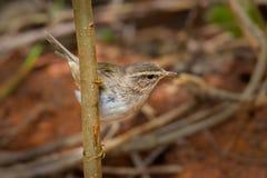 Dusky Warbler(Phylloscopus fuscatus) Stock Photo