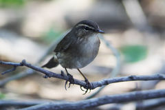 Dusky warbler. The dusky warbler (Phylloscopus fuscatus) is a leaf warbler which breeds in east Asia. This warbler is strongly migratory and winters in southeast Royalty Free Stock Image