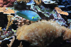 Dusky wrasse. The dusky wrasse among the corals royalty free stock photography