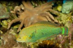 Dusky Wrasse in Aquarium Royalty Free Stock Image