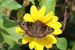 Duskywing em uma flor fotos de stock