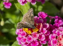 Duskywing Skipper Royalty Free Stock Photos