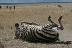 Dust Bath. Plains zebra rolling in the dust Stock Images