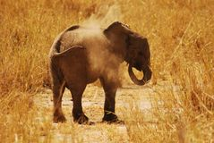 Dust bath for a baby Elephant in Tarangire NP Royalty Free Stock Photography