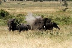 Dust batheing Elephants Stock Photo