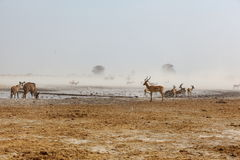 Dust storm at the water hole Stock Images