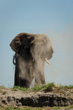 Dustbath d'éléphant images libres de droits