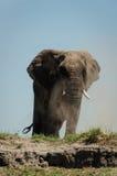 Dustbath d'éléphant photo stock