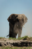 Dustbath do elefante Foto de Stock