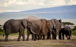 Dustbathing-Elefantherde Lizenzfreies Stockfoto