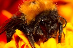 Dusted bumblebee Royalty Free Stock Images