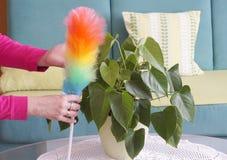 Duster cleaner w kobiet rękach, czyści pył na dom roślinie fotografia stock