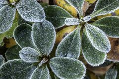 Dusting of frost on azalea petals. Frost outlining  edges of the azalea leaves Stock Photo