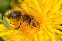 Dusty Bee, der Blütenstaub auf einem Löwenzahn sammelt Lizenzfreie Stockbilder