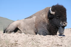 Dusty Bison Royalty Free Stock Image