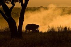 Dusty Buffalo. Dusty Baffalo under tree in the African savanna Royalty Free Stock Photography