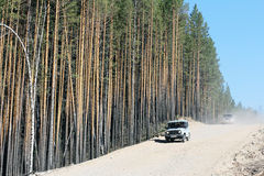 Dusty dirt road and mast pines. On the background of cars huge trunks of pines look impressive Royalty Free Stock Images