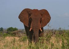 Dusty Elephant Stock Photography
