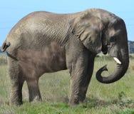 Dusty Elephant. Elephant spraying dust at game lodge Royalty Free Stock Image