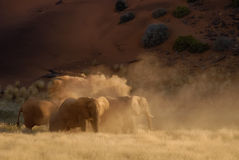 Dusty Elephants. A small group of desert elephants kick up dust as they play in the evening sun Stock Image