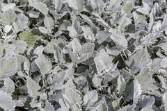Dusty Miller Royalty Free Stock Images