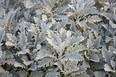 Dusty miller (Cineraria maritima) Royalty Free Stock Photo