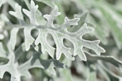 Dusty miller. / Yellow flowers in the summer stock image