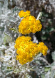Dusty Miller flower Royalty Free Stock Image