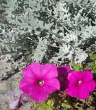 Dusty Miller Royalty Free Stock Image
