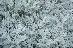 Dusty Miller leaves. Royalty Free Stock Photography