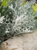 Dusty Miller Plant Stock Photography