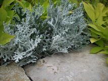 Dusty Miller Plant Royalty Free Stock Photo