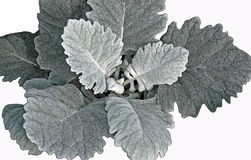 Dusty Miller with Poster Edges Stock Images