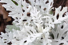 Dusty miller. Senecio cineraria, also called dusty miller, popular foliage plant known for its cool, silvery, woolly-felted leaves stock photos