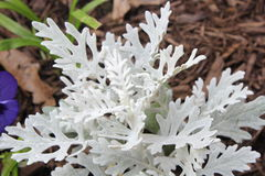 Dusty miller. Senecio cineraria, also called dusty miller, popular foliage plant known for its cool, silvery, woolly-felted leaves Royalty Free Stock Images