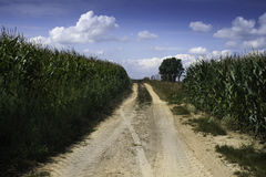 A dusty path between corn royalty free stock image