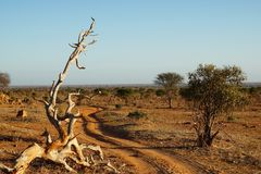 Dusty piste in the early morning sun in the savanna of Tsavo East Kenia Royalty Free Stock Images