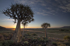 A Dusty Quiver Tree Sunset. Aloe dichotoma (also known as Quiver tree or Kokerboom) at sunset in Northern Cape Province Royalty Free Stock Image