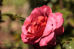Dusty red rose known as hot cocoa blooms Stock Photo