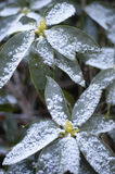 Dusty Rhoads one. Rhododendron with dusting of snow Stock Photos