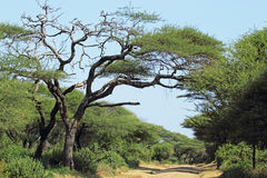 Dusty road under an acacia tree, Tanzania Royalty Free Stock Images