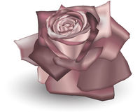 Dusty Rose. Illustration of a Dusty coloured rose Royalty Free Stock Images