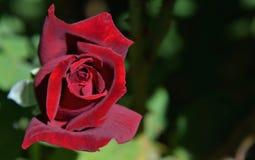 Dusty Rose rouge Image libre de droits