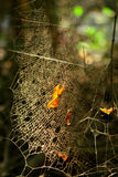 Dusty spider web Royalty Free Stock Images