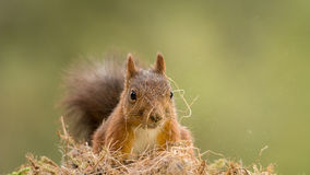Dusty squirrel Royalty Free Stock Photography
