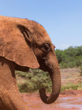 A dusty young elephant Royalty Free Stock Image